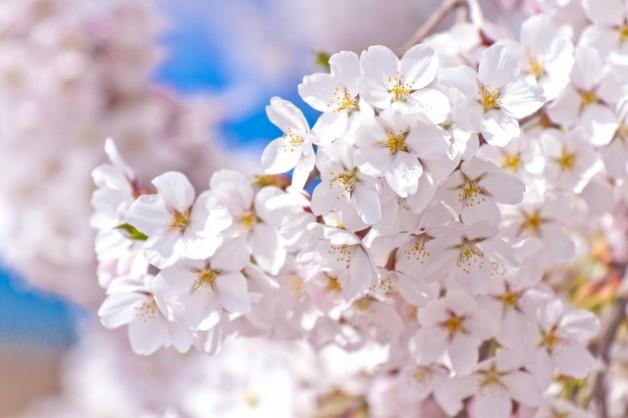 伊香保温泉桜2