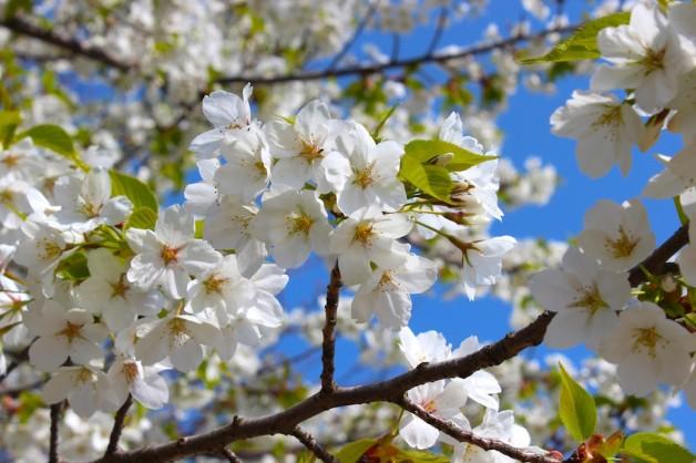 伊香保温泉桜